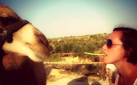 feeding a camel